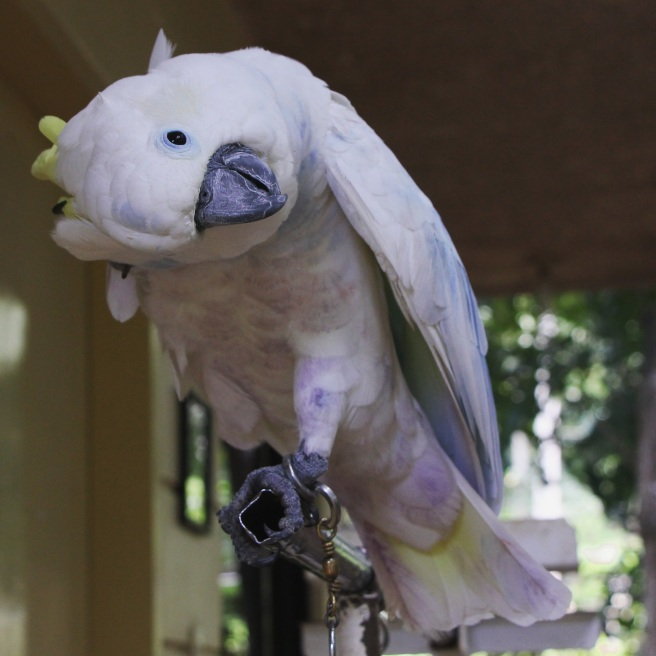 The Cockatoo is a very playful bird.